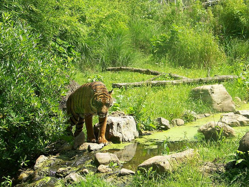 Tigre at Diergaarde Blijdorp