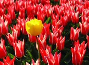 tulpen-in-de-beemsterpolder_high_rgb_3220