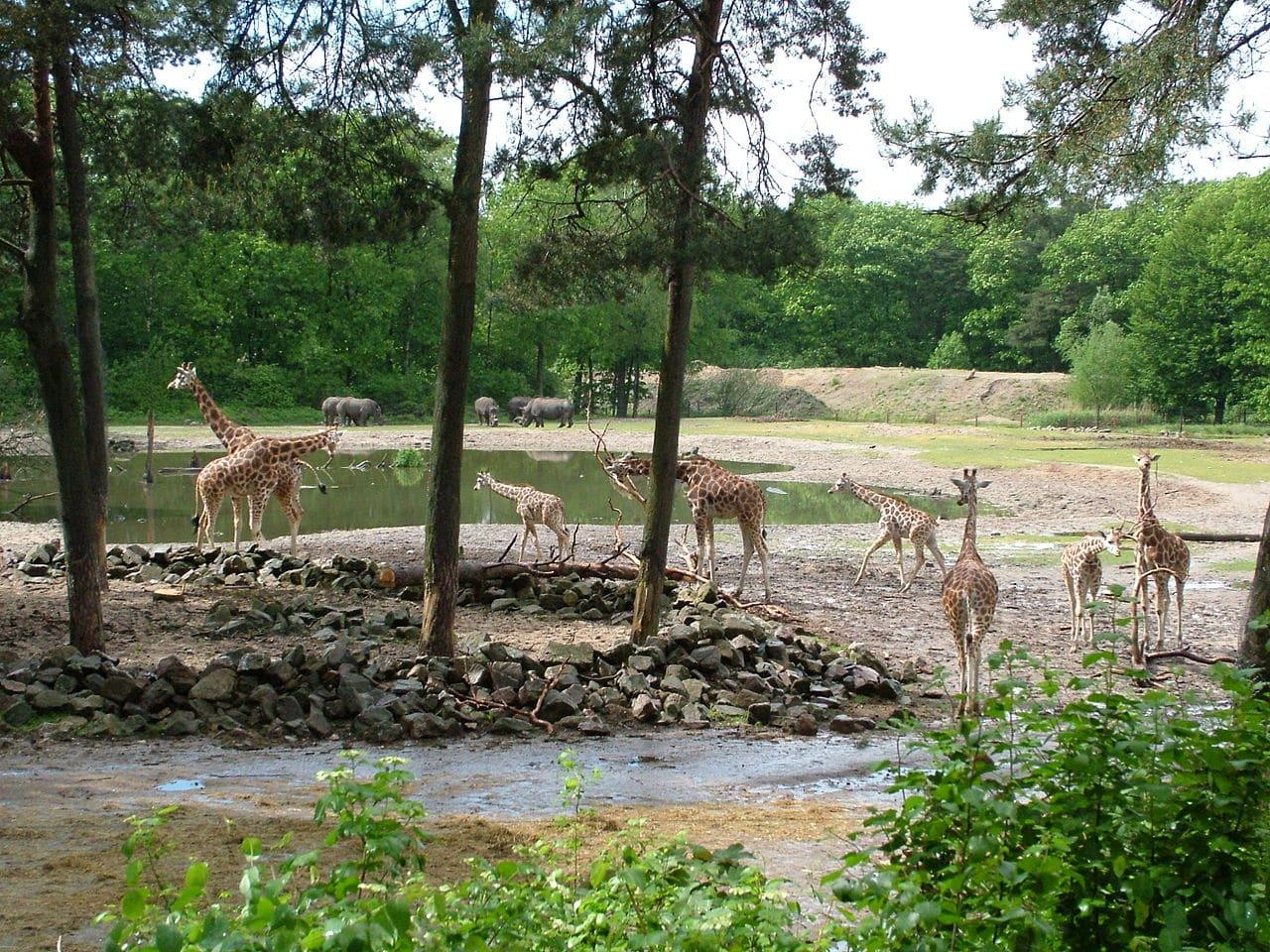 Burgers Zoo Safari Giraf