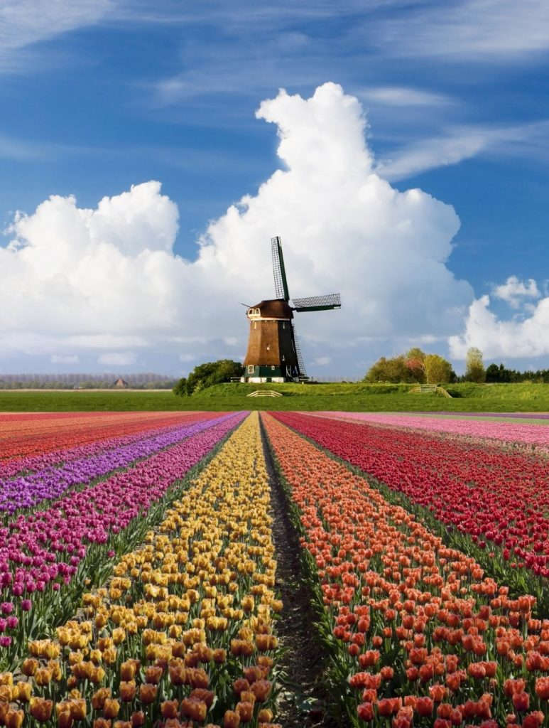 Tulips and a Mill in the Netherlands